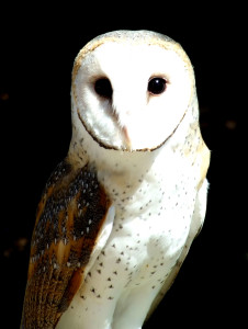 INFJ Introvert: On Introverted Problems and Insomnia openphotonet_barn-owl-226x300 Introverts Popular Posts