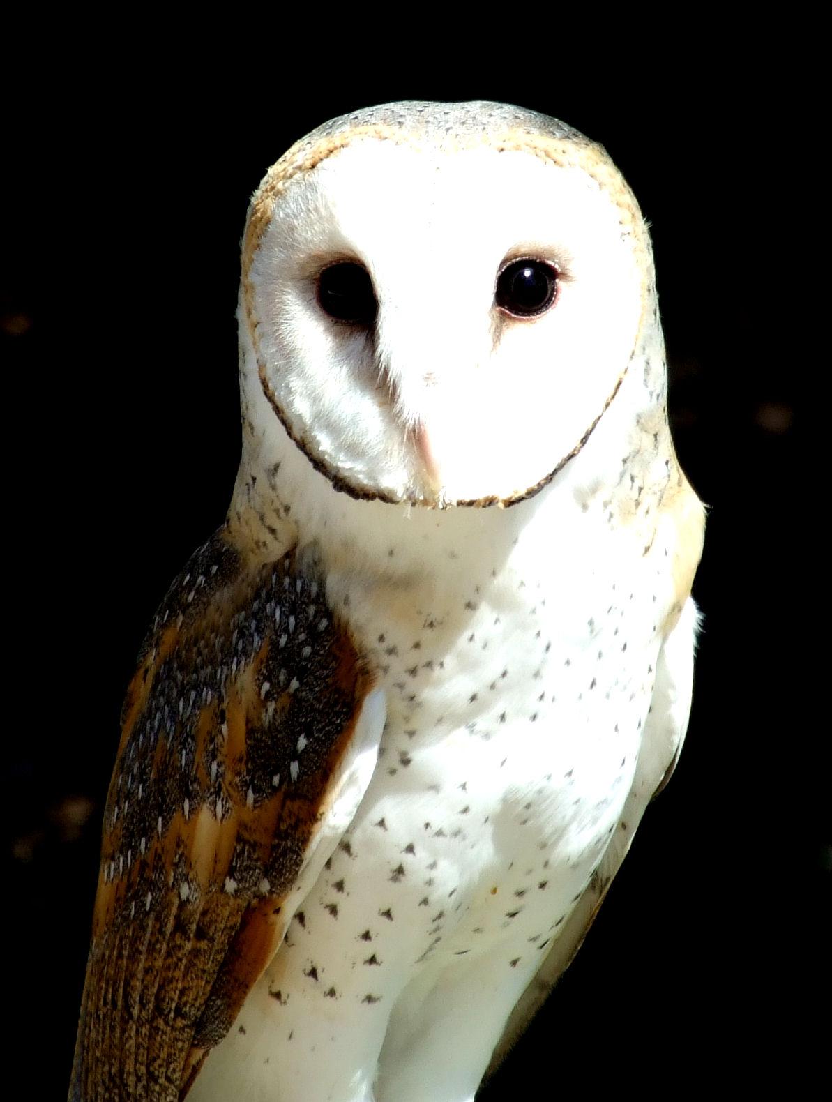 openphotonet_barn owl